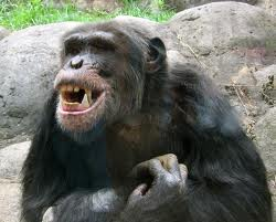 Chimpanzees image