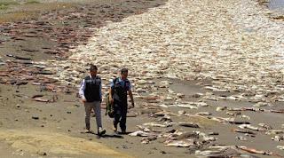 Immagini apocalittiche dal Cile, spiaggiati migliaia di calamari!