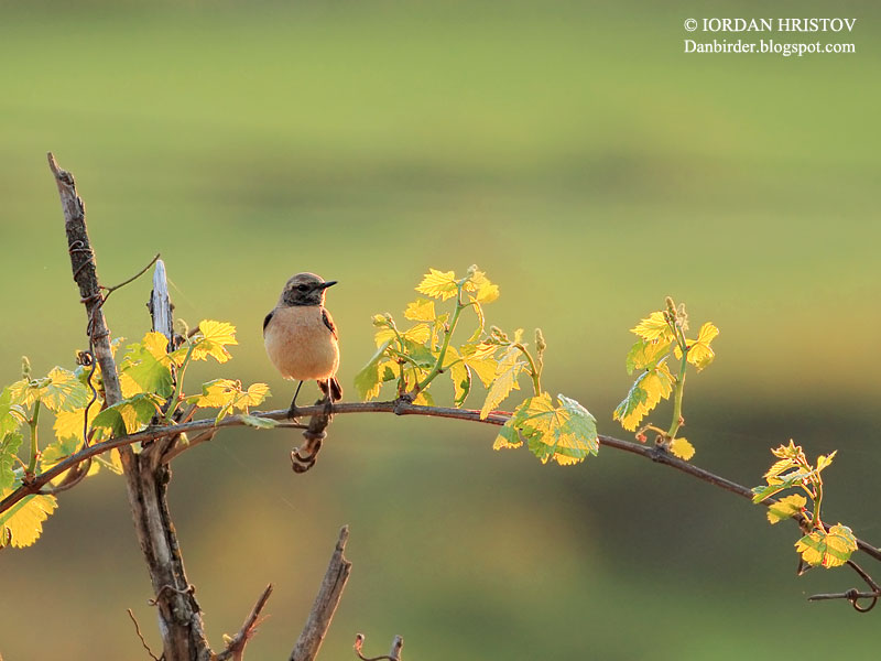 Eastern Black-eared Wheatear photography