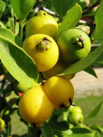orto per tutti piante da frutto esotiche