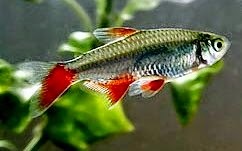 Blood fin tetra picture