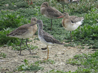 Greater Yellowlegs by Amy Robjohns