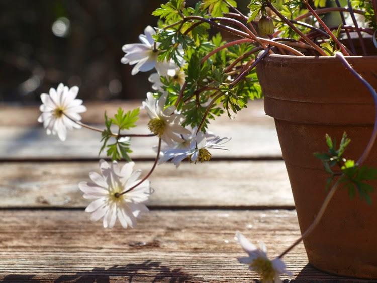 Hvide balkan-anemoner giver haven forårsstemning
