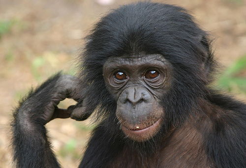 Bonobo Animal Wildlife