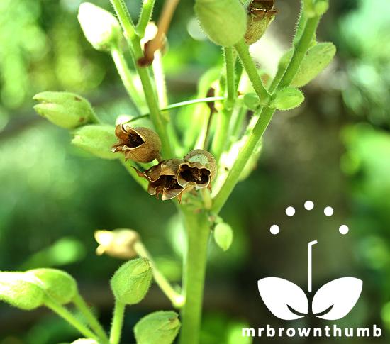 Nicotiana seed pods