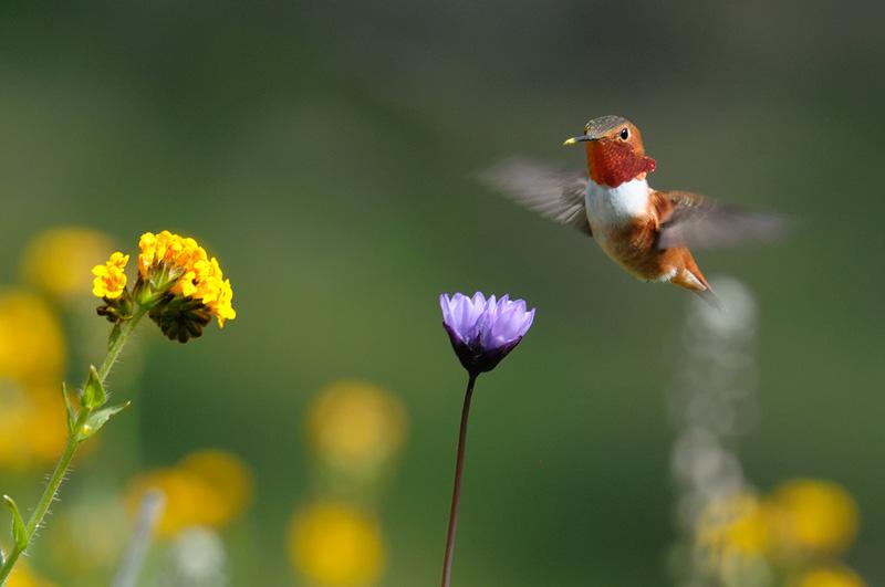 Bird In Everything Hummingbirds Flowers