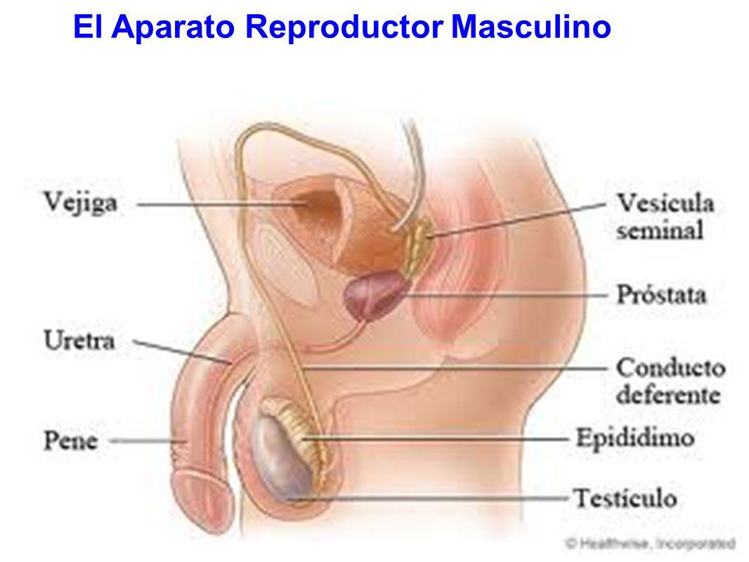 Educación Sexual Básica: Sistemas reproductores masculino y femenino