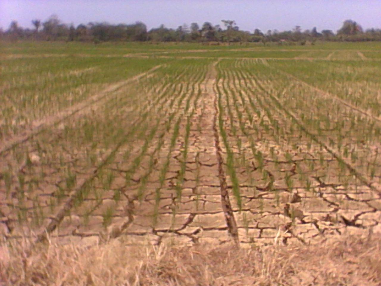 Gerbang Pertanian Luwu Kekeringan Mengancam Pertanian