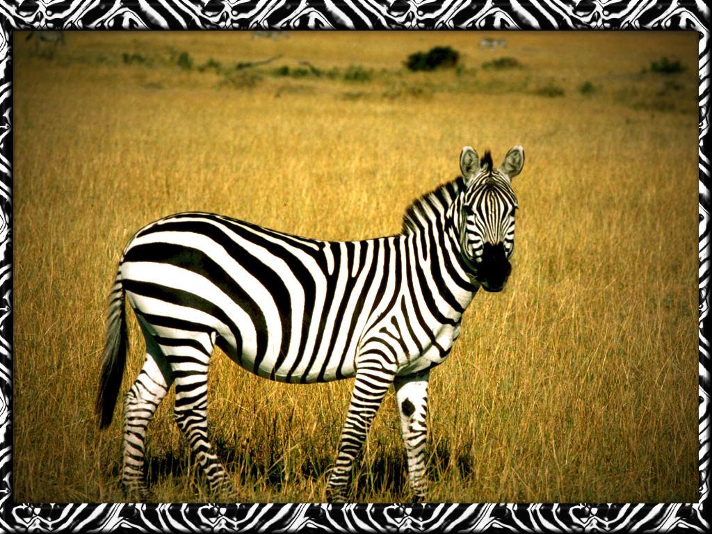prishi funny picture zebra