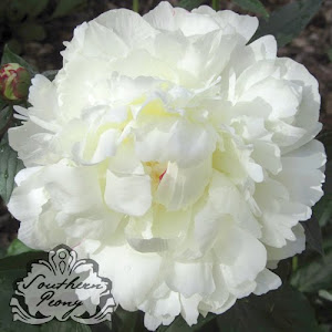 Peony 'White Frost'