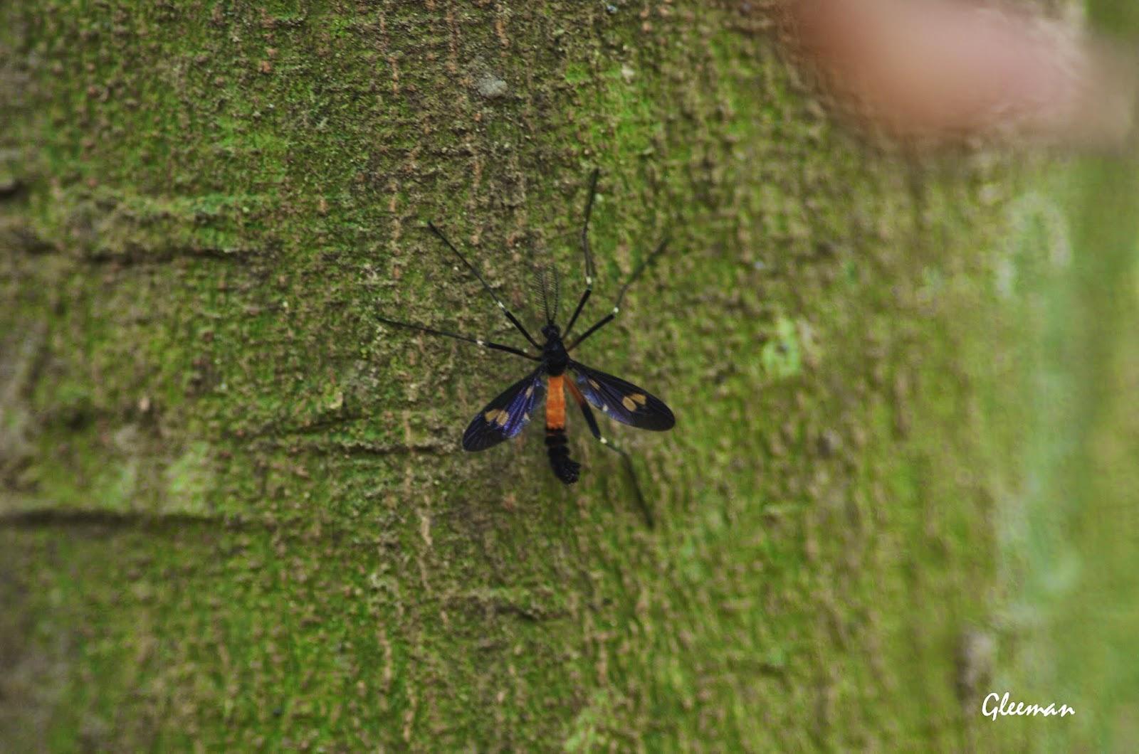 大蚊的成蟲的生命只有十多天。於雞南山。
