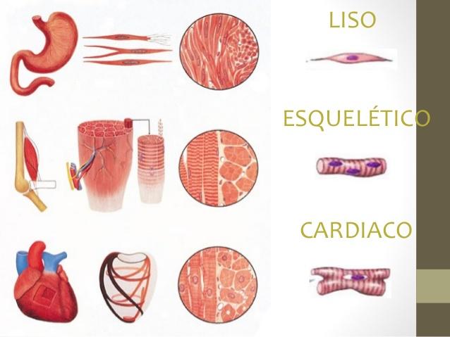 Anatomía 1B: Tejido muscular (3), mecanismo de contracción muscular