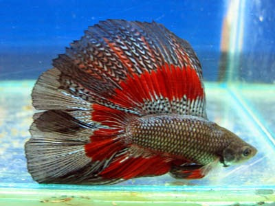 All about betta fish for Biggest betta fish