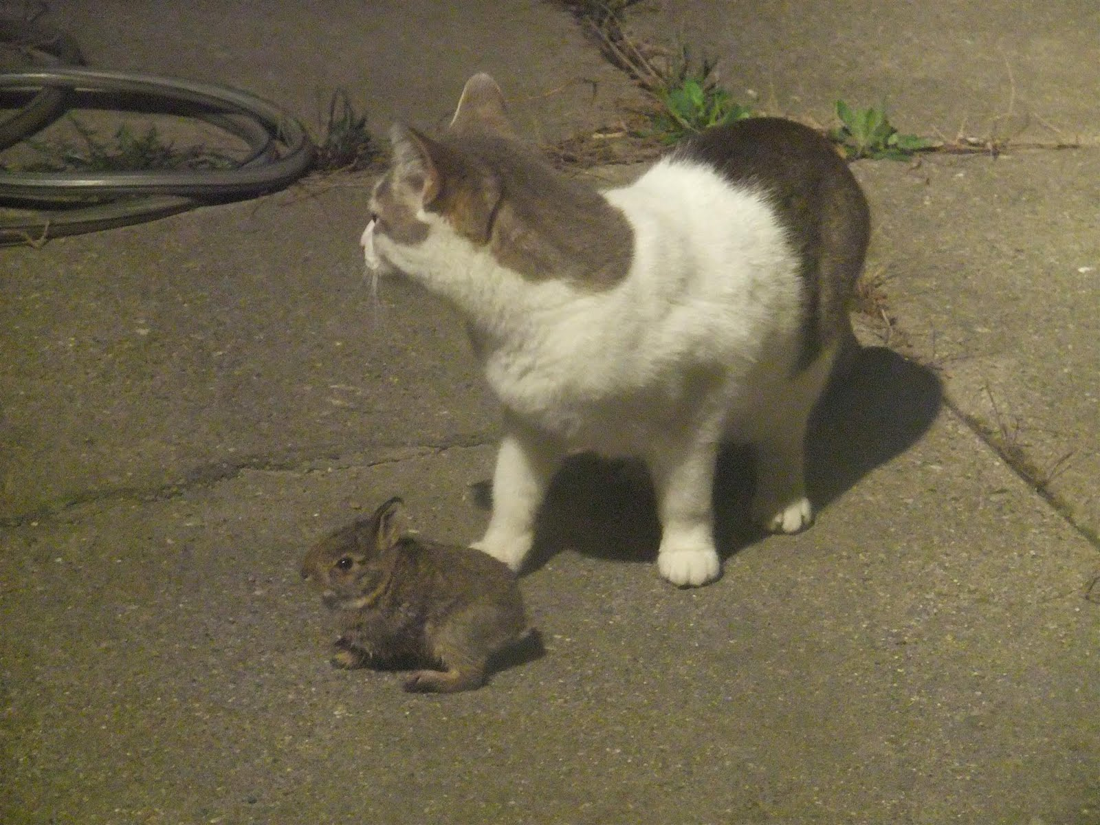 the rabbit would try to take off and hop around the yard but charlie