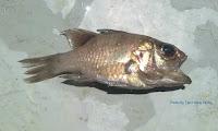 Hookfin Cardinalfish