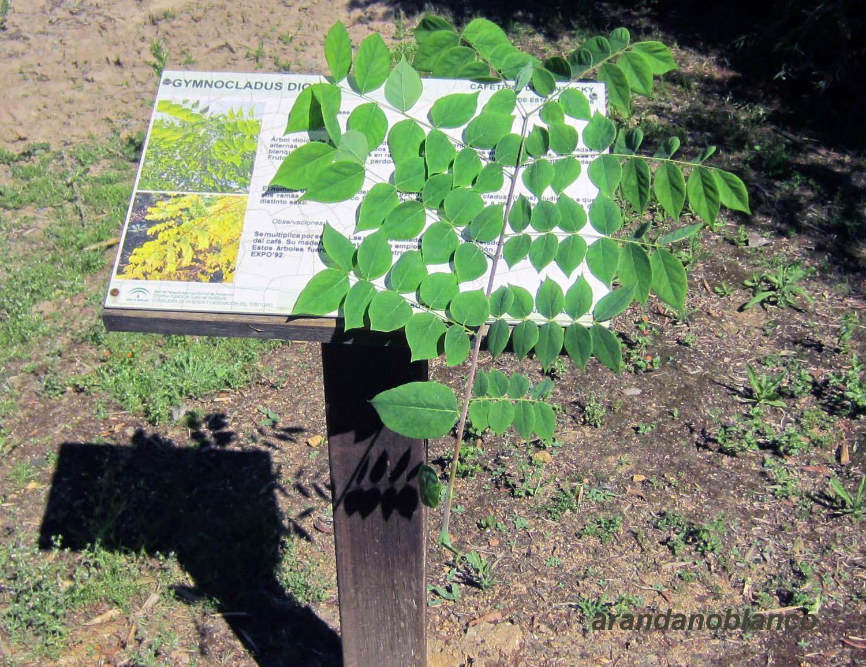 Parquealamillo encinarosa gymnocladus dioica cafetero for Vivero del parque