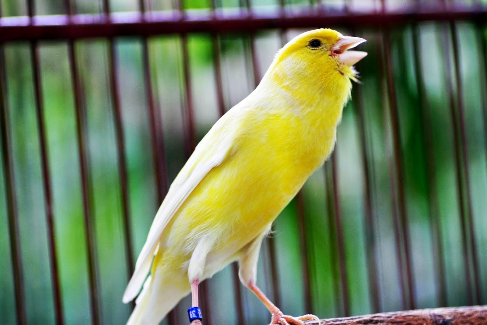 foto burung kenari f1