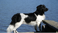 perro Stabyhoun