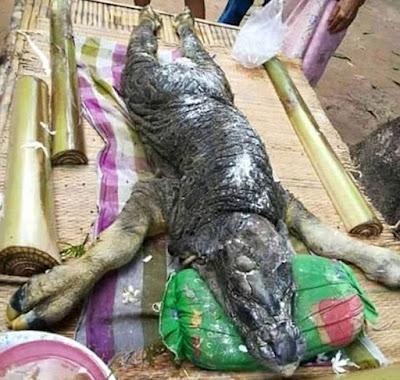 Haiwan menyerupai buaya dan lembu di jumpai di Thailand