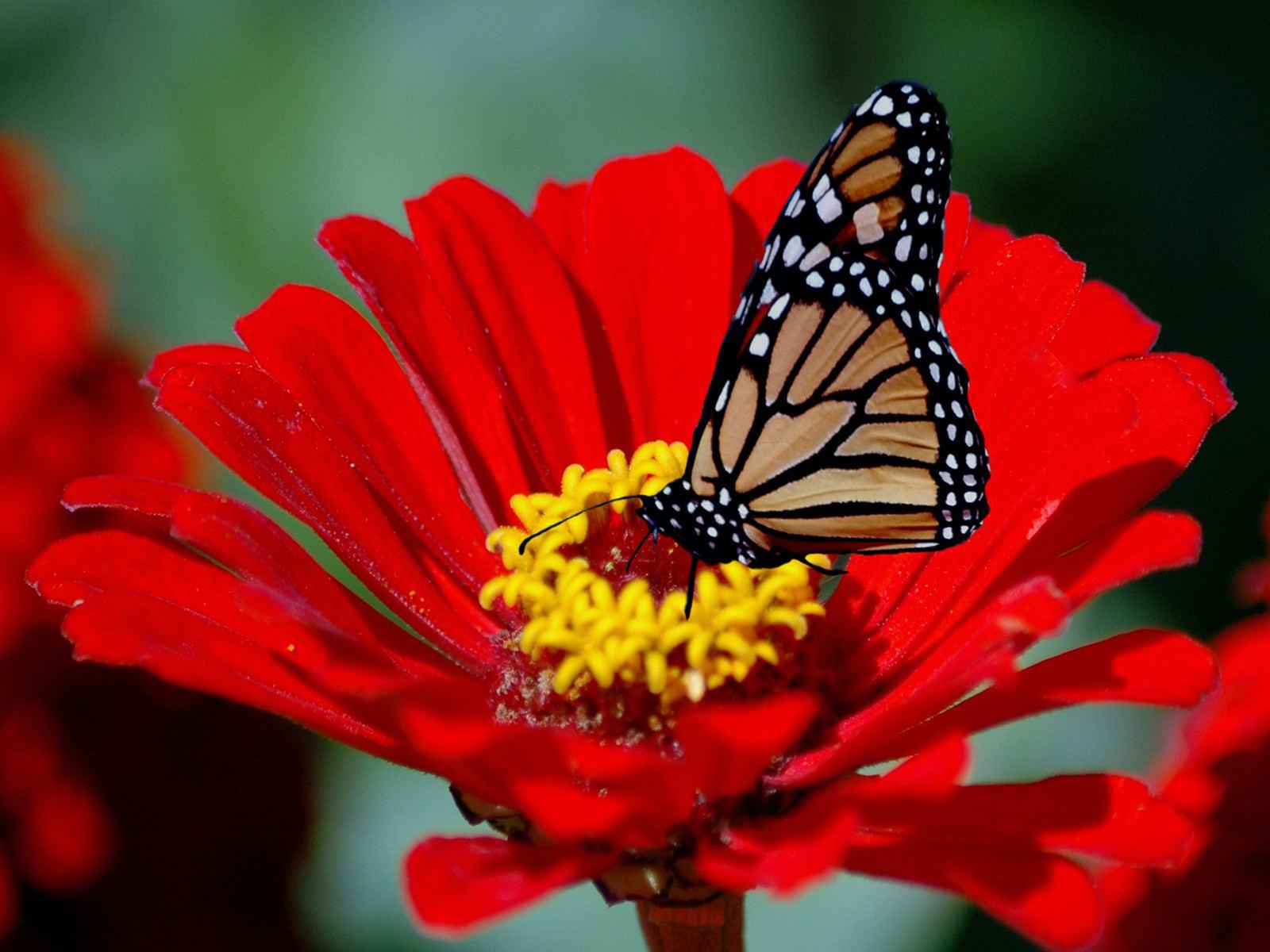 http://4.bp.blogspot.com/-HVw4Gu3DIJ8/Tl8T9rRwAHI/AAAAAAAAD1Q/f7aVSm8l88k/s1600/Butterfly%2Bon%2Ba%2BRed%2BFlower.jpg
