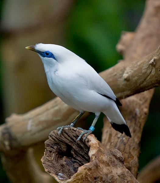 gambar burung - gambar burung jalak bali
