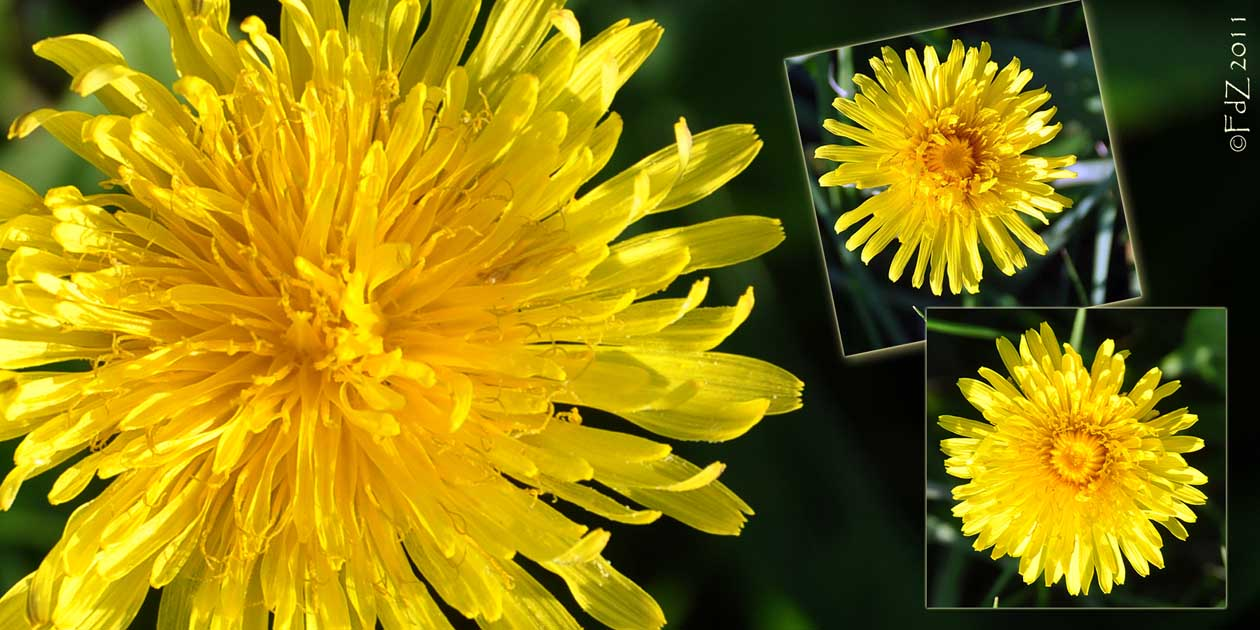 View Thru My Global Lens The Common Dandelion