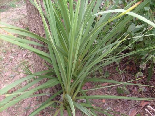 Ma plan te jardin renaissance d 39 une cordyline - Cordyline feuilles qui jaunissent ...