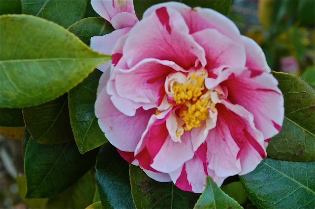 Variegated camellia at Tenryu-ji in Kyoto, Japan