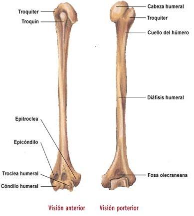 Nuestro esqueleto: Miembro superior: El húmero