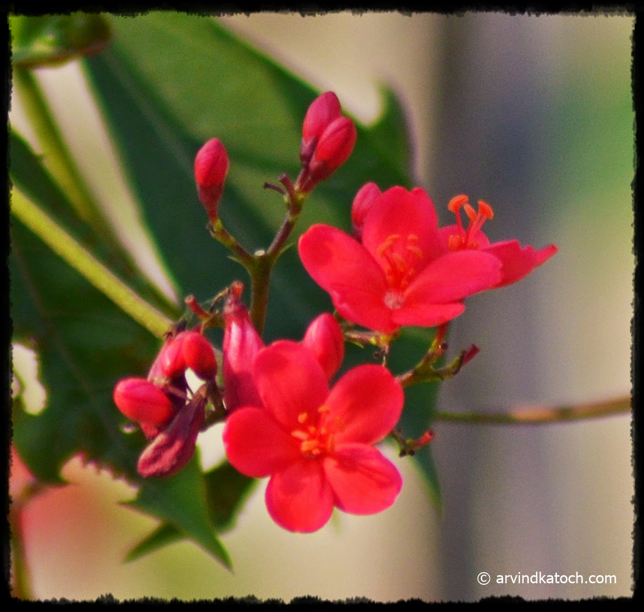 Arvind Katoch Photography : Light Red and Pink Mix Colored Flowers