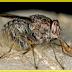 Top 10 serangga yang paling berbahaya di dunia