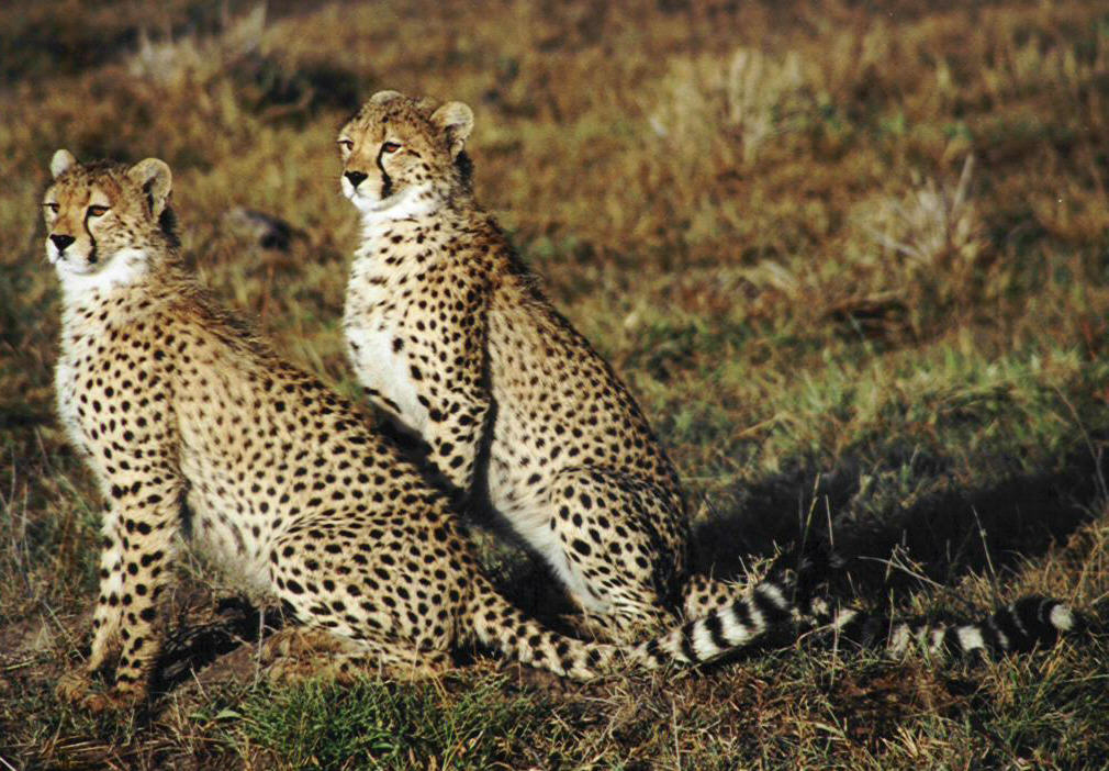 Beautiful cheetahs in beautiful animal habitat animal competition