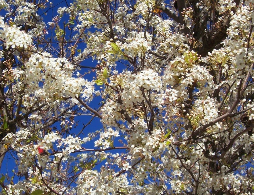Photo evergreen pear tree pyrus kawakami the 2 minute gardener the evergreen pear tree is noted for its beautiful canopy of white flowers in the early spring unfortunately here in san diego this tree can become mightylinksfo