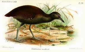 rascon de las Solomon Nesoclopeus Hypotaneidia woodfordi