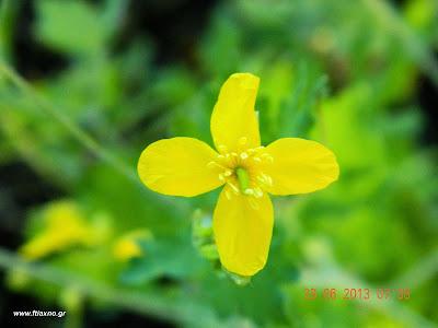 χελιδόνιο λουλούδι-Chelidonium Majus