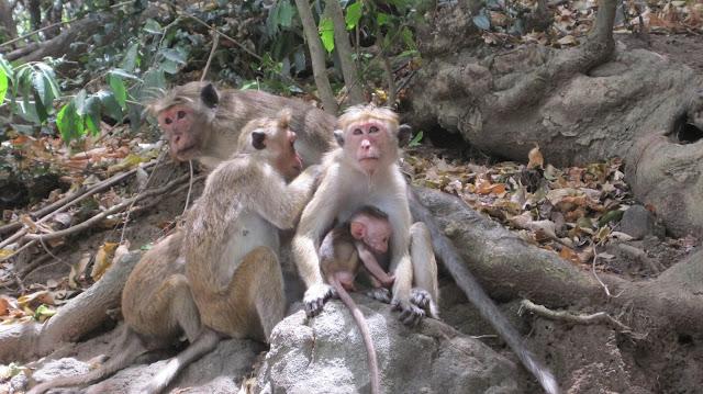 Monos en Sri Lanka