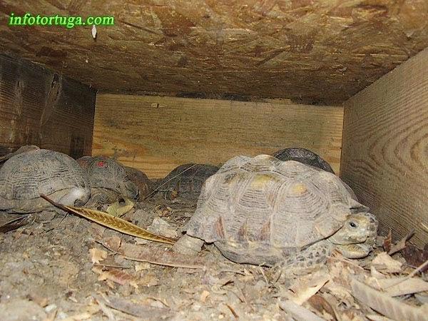 Gopherus berlandieri en su cueva
