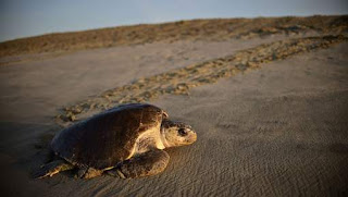les tortues changent de sexe