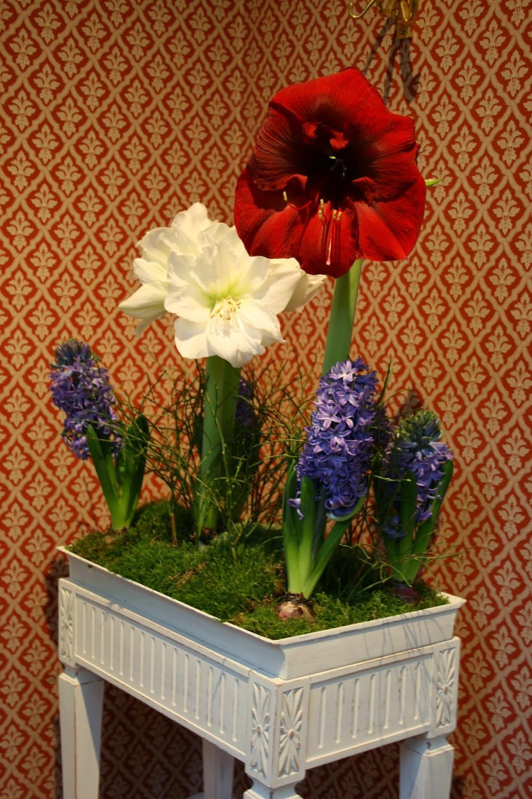 julgrupp hyacint amaryllis
