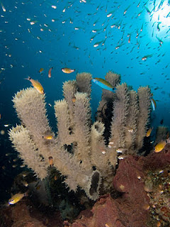 Tube sponges attracting cardinal fishes, glassfishes and wrasses