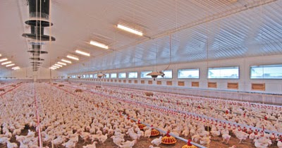 Yam Coop Broiler Chicken House Designs Most Popular