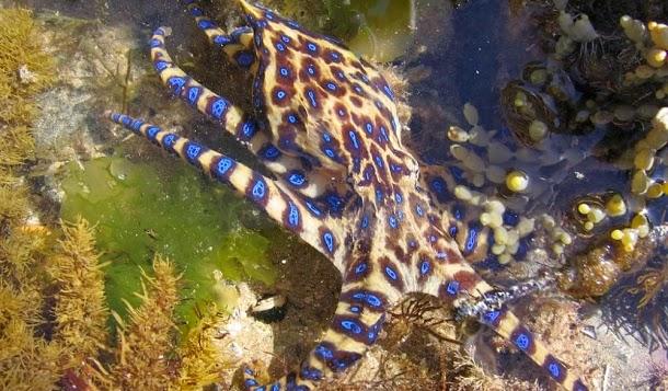 Polvo de anéis azuis (Hapalochlaena)