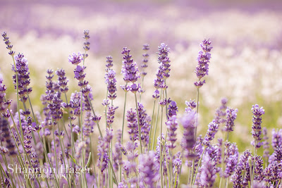 Shannon Hager Photography, Lavender Fields