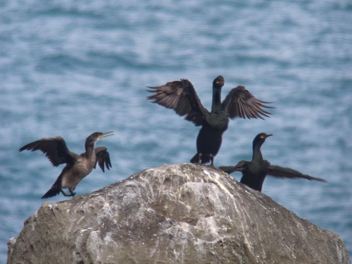 Cormoranes moñudos. Autor Lukas Arbeloa