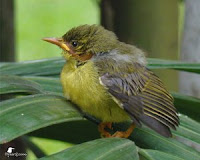Bayi Burung