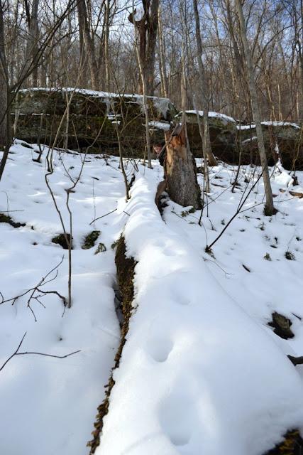 Bobcat tracks on a log