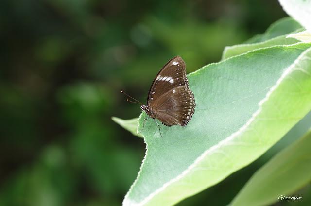 雞南山散步,幻蛺蝶