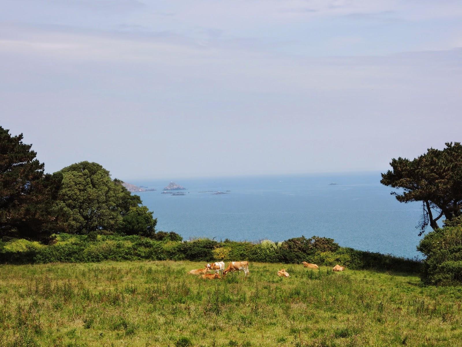 Guernsey cows,Guernsey Island