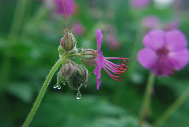 Close up of Geranium macrorrhizum 'Bevan's Variety' with raindrops