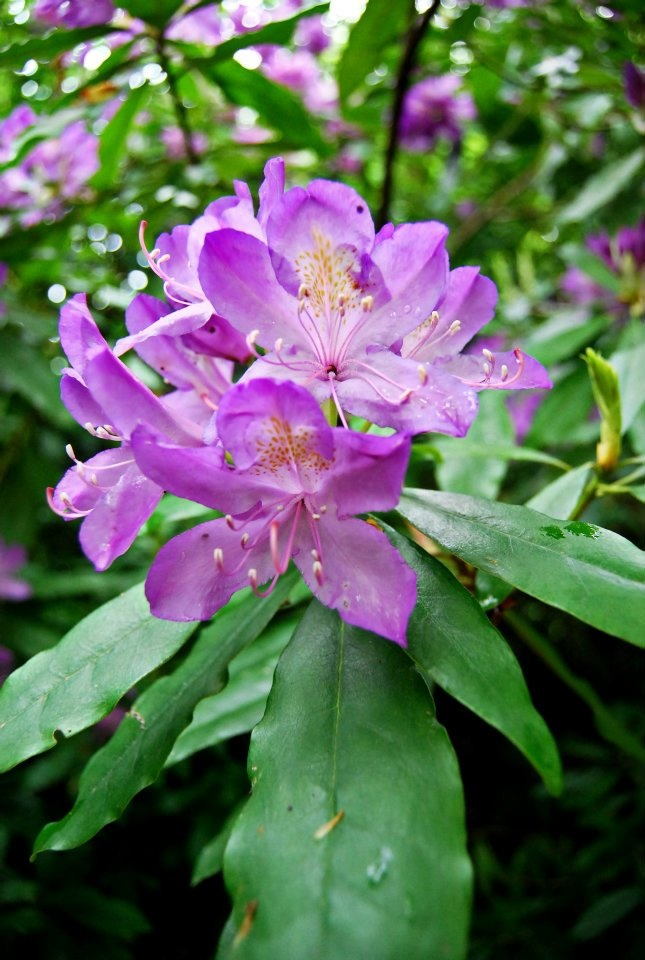 Flores y rboles rododendro - Arbol de rosas ...